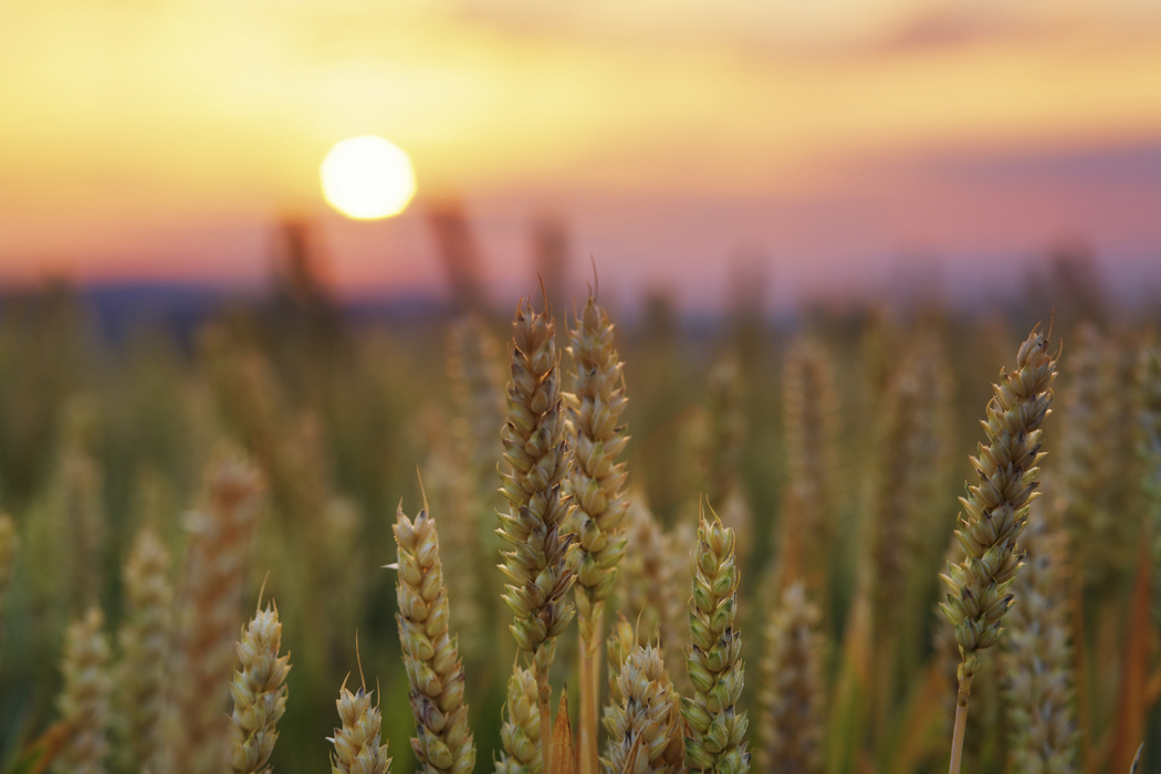 Read more about the article Don't Eat Your Seed Wheat